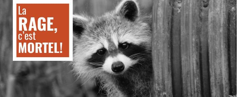 Rage du raton laveur: signalez la présence d'animaux suspects à Saint-Bruno