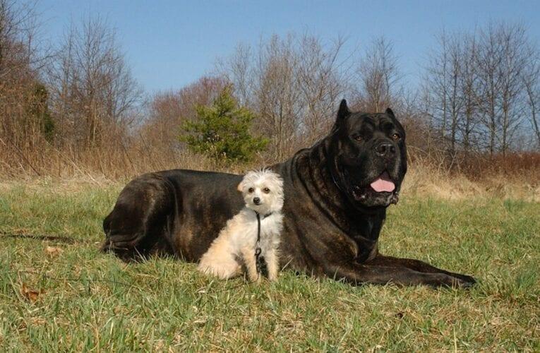 Un parasite mangeur de chair transporté par les chiens fait son apparition en Amérique du Nord
