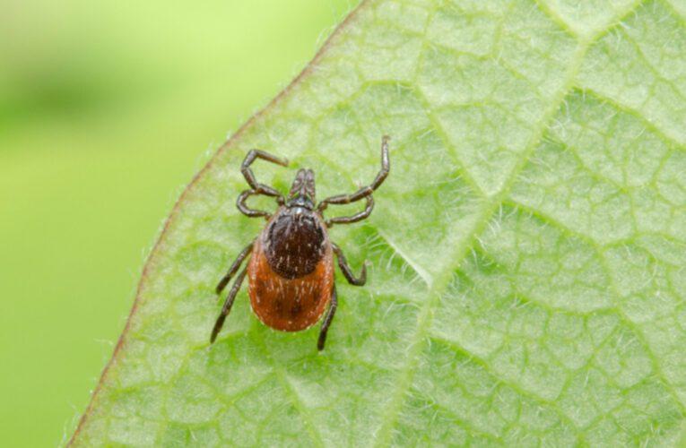 La tique de la maladie de Lyme est toujours bien présente au Mont-Saint-Bruno et en Montérégie
