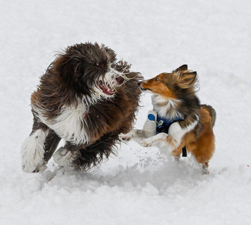 Chiens jouant dans la neige