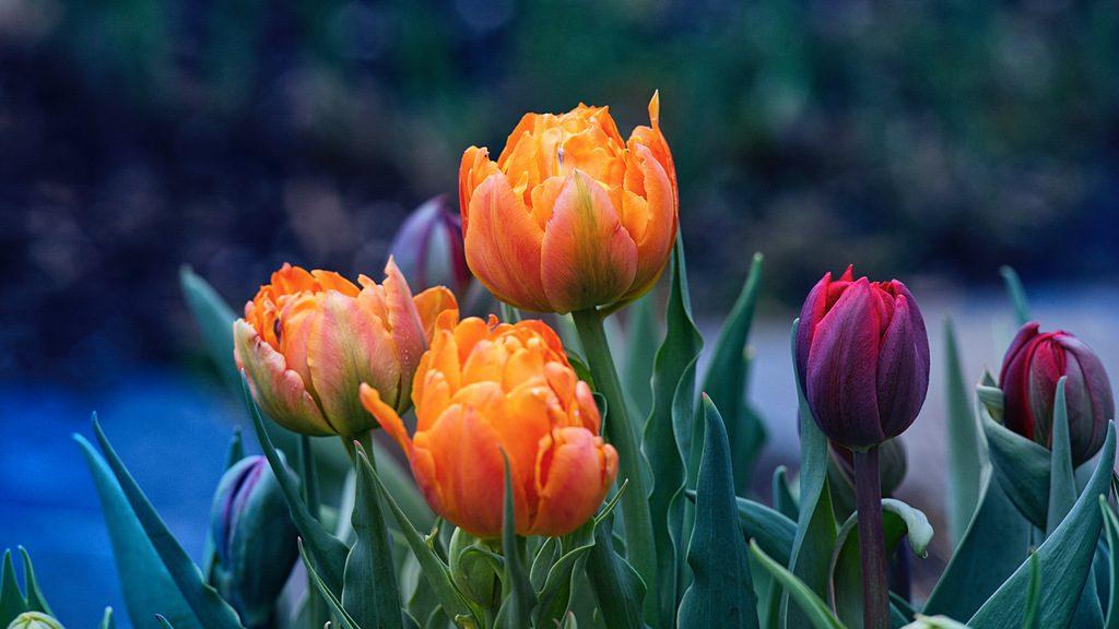 Tulipes 4.jpeg