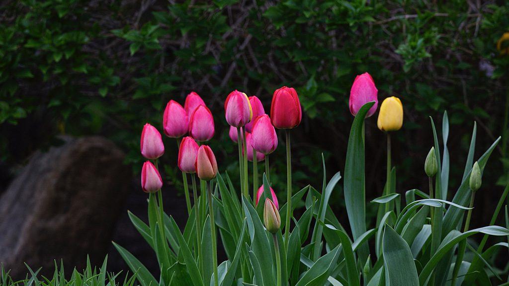 Tulipes 1.jpeg